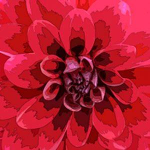 Dahlia-rood_liggend_website 456